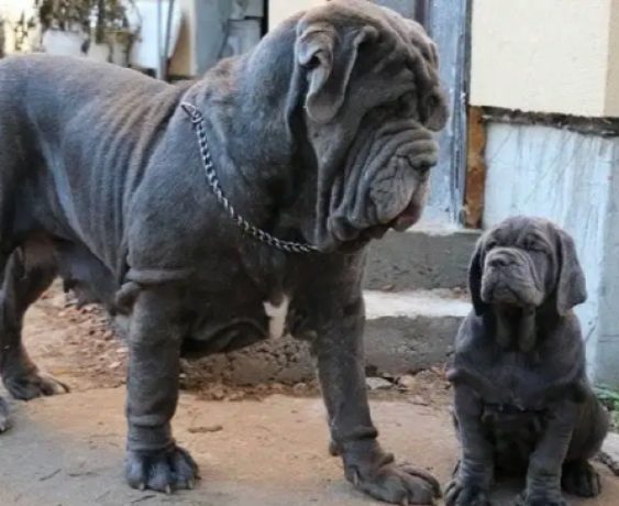 neapolitan-mastiff-imported-puppy-big-0